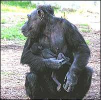 simpanse tracy